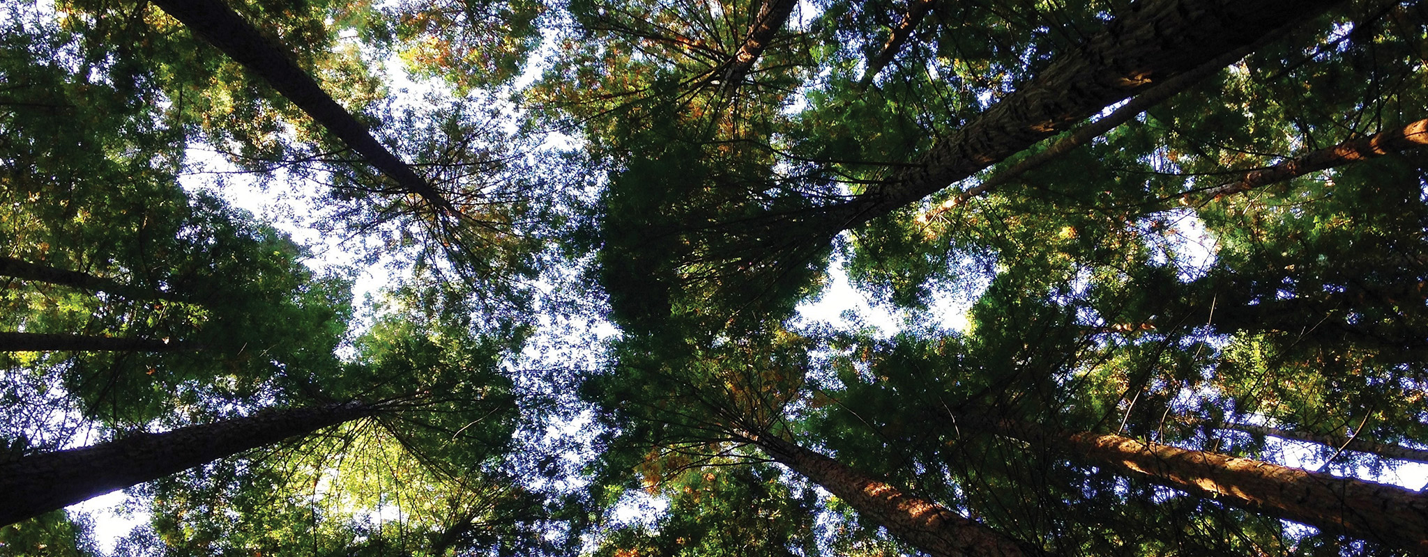 A view of tree tops from below.